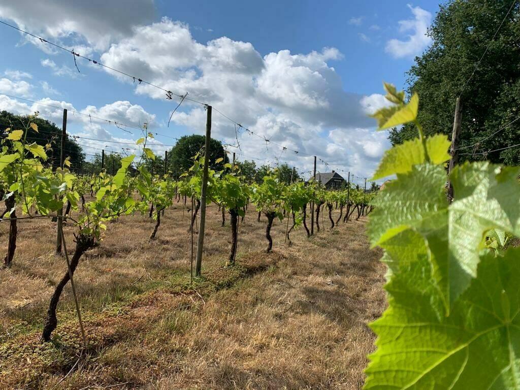 wijngaard-1.jpeg