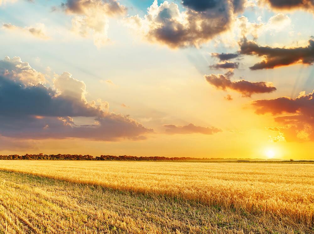 brown-wheat-plantwu-y... (copy)