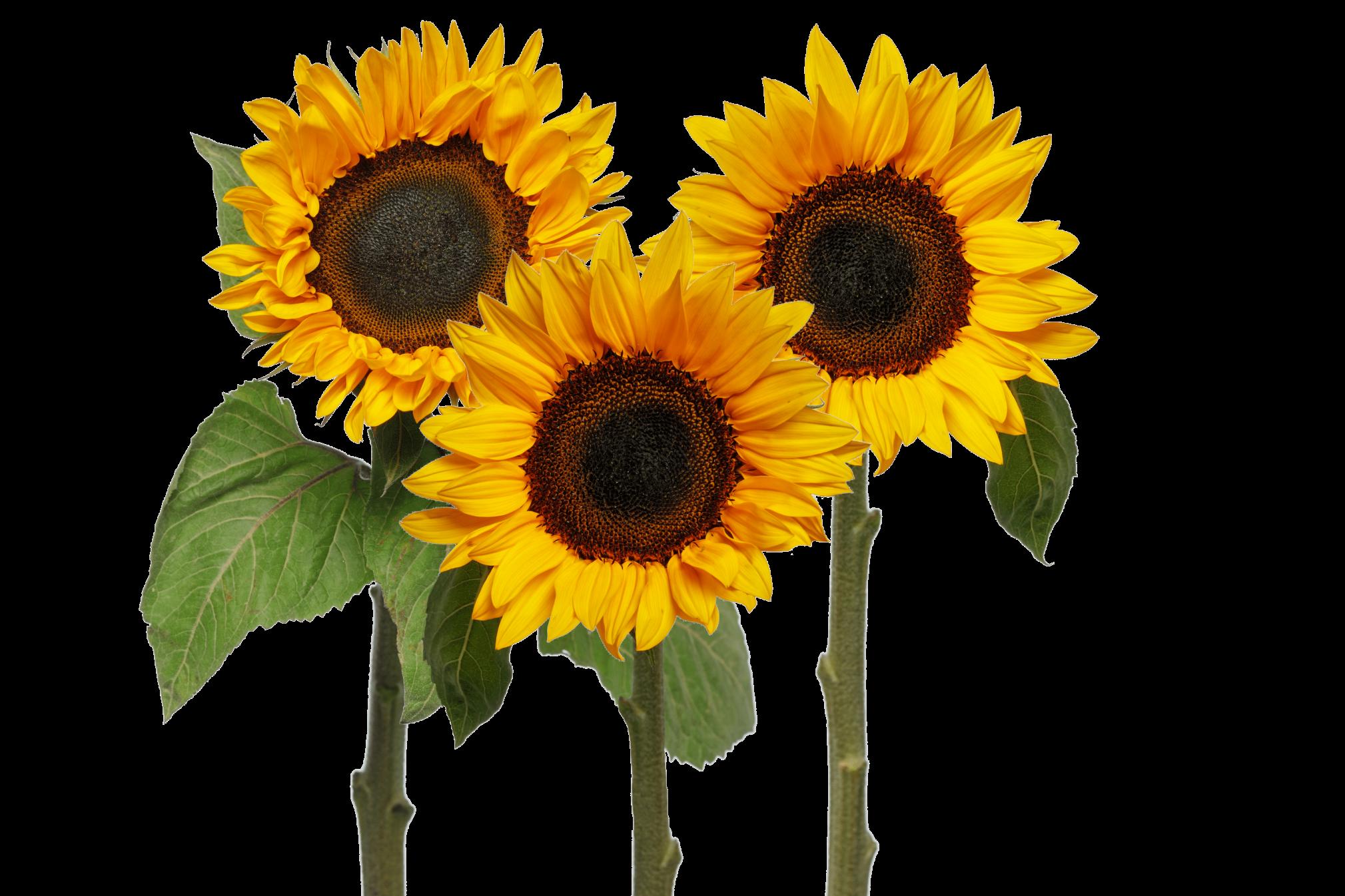 zonnebloemen 3