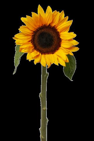 zonnebloem los